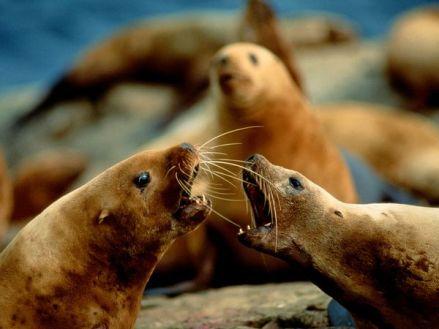 steller-sea-lions_725_600x450